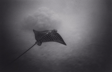 Eagle Ray & Coral Head (SC-49)