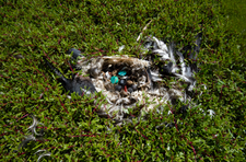 Remains of Young Albatross with Ingested Plastic, Laysan (NWA-11)