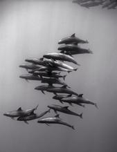 Sub-pod of Melon Headed Whales (SC-968)