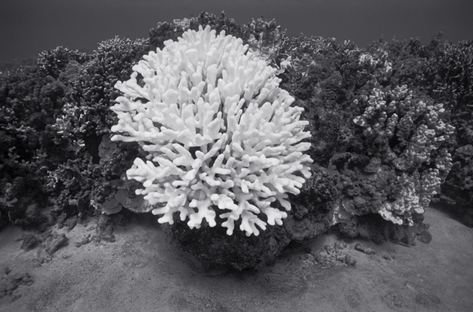 Large Bleached Cauliflower Coral, Keauhou (G-66)
