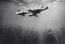 Sea Lion over Kelp Forest (SC-195)