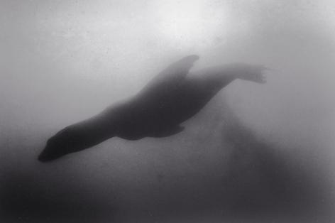 Diving Sea Lion (SC-155)