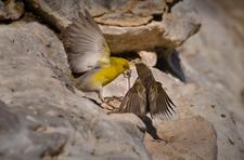 Male and Female Finches Fighting, Nihoa (NWA-61)