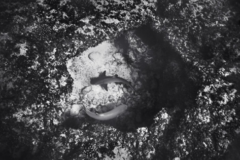 Two White Tip Reef Sharks in Hole, Mokumanamana (NWU-31)