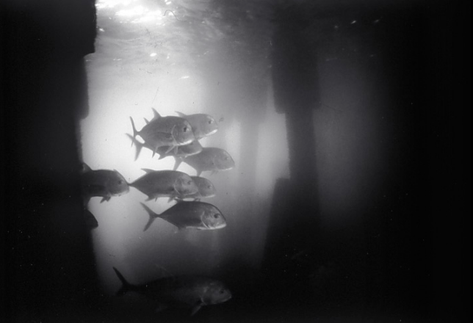 White Trevally under Pier (SC-78)