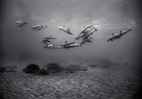Spinner Dolphins over Sandy Bottom (SC-730)
