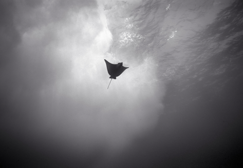 Eagle Ray in Surf, Mokumanamana (NWU-20)
