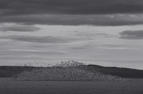 Mountain of Snow Geese (FL-44)