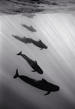 Formation of Pilot Whales (SC-168)