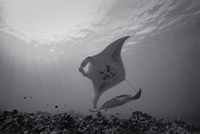 Mantas under Sunlight (SR-330)