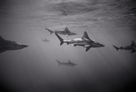 Sandbar Sharks (SC-1284)