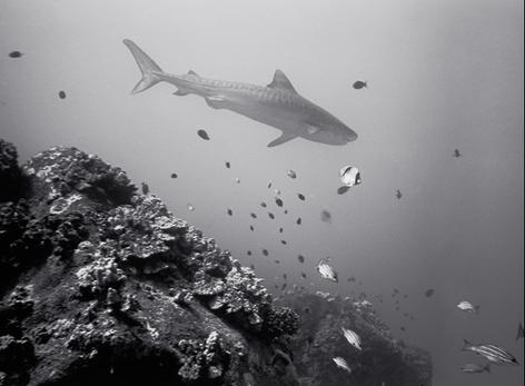 Tiger Shark over Reef (SR-104)