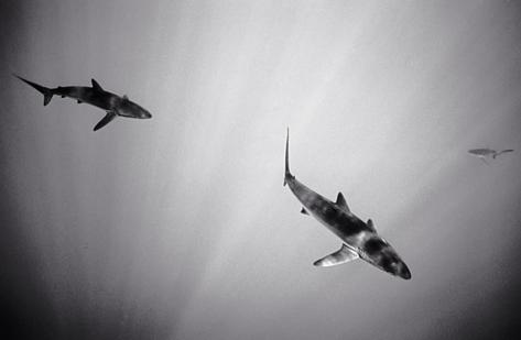 Silky Sharks (SC-653)