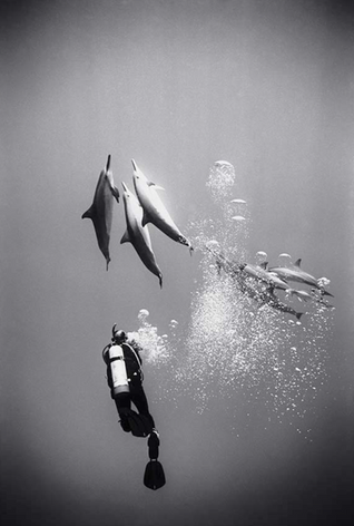 Diver with Surfacing Spinner Dolphins (SP-130)