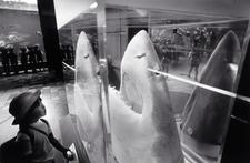 Great White Shark Head, Suma Aquarium (P-52)