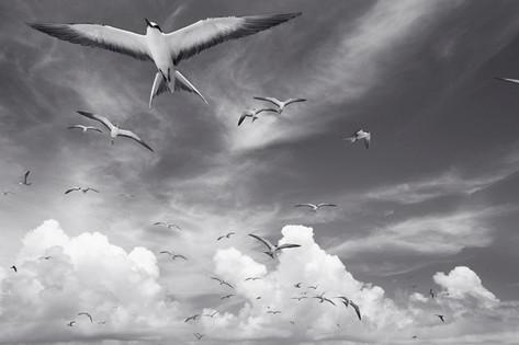 Sooty Terns over Kure (NWB-21)