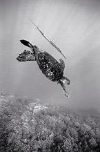 Green Sea Turtle & Cornet Fish (SC-461)