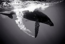 Humpback Whale Trailing Bubbles (SC-361)