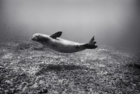 Monk Seal, Pearl and Hermes (NWU-43)