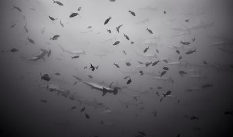 School of Hammerhead Sharks (SC-87)