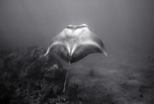 Light Toned Manta Ray (SC-590)
