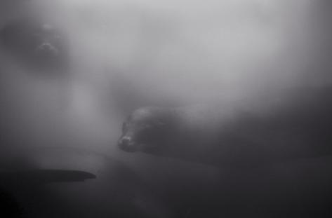 Sea Lions in Murky Water (SC-154)