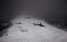 Galapagos Sharks over Sand Channel, Kure (NWU-84)