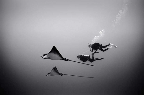 Two Divers, Two Eagle Rays (SP-79)