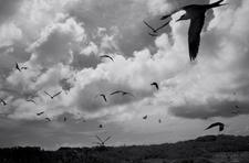 Sooty Terns #1, Kure (NWB-16)