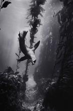 Sea Lion in Kelp Forest (SC-193)