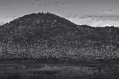 Snow Geese and Blue Hill (FL-08)