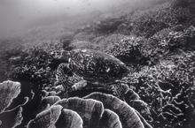 Hawksbill Turtle (SC-111)