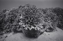 Large Algae Covered Cauliflower Coral, Keauhou (G-112)
