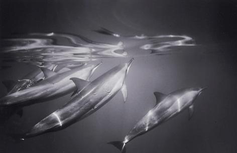 Spinner Dolphins (SC-08)