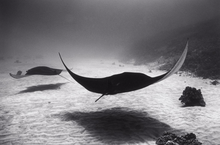 Two Manta Rays over Sand (SC-602)