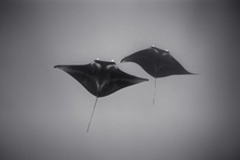 Two Mantas in Deep Water (SC-2127)