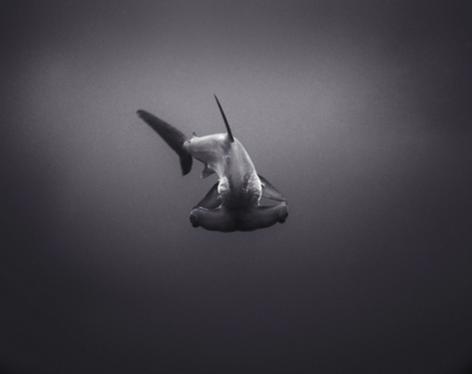 Hammerhead Shark (SC-86)