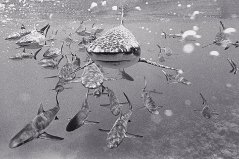 Large School of Gray Reef Sharks (SC-84)