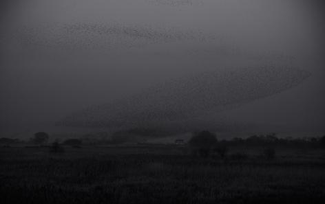 Elliptical Pattern of Starlings (FL-14)