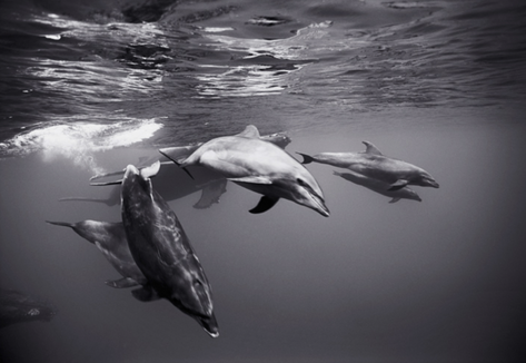 Bottlenose Dolphins with Humpback Whales (SC-350)