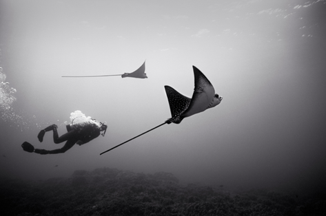 Diving with Eagle Rays (SP-201)