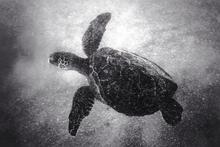 Green Sea Turtle (SC-01)