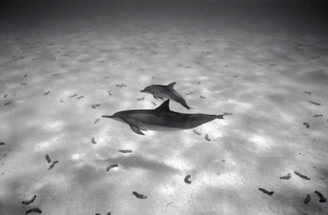 Mother and Baby Spinner Dolphins, Kure (NWU-94)