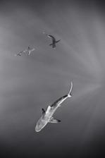 Galapagos Sharks, Laysan (NWU-35)
