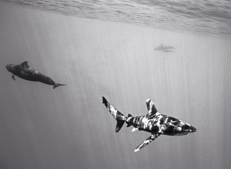 Oceanic Whitetip Shark with Pilot Whales (SC-117)