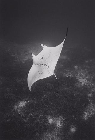 Upside-down Manta Ray (SC-621)