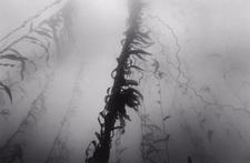 Waving Kelp (O-37)