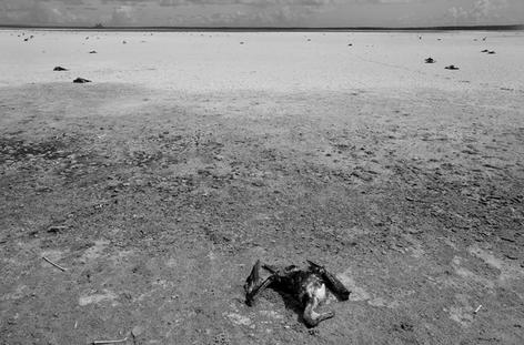 Dead Albatross on Laysan Island after very Dry Summer (NWB-10)