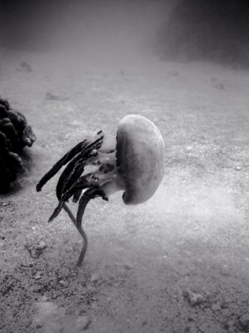 Dancing Jellyfish (SC-1050)