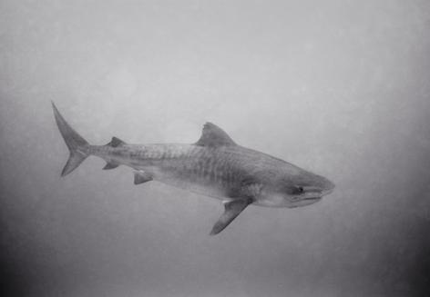 Tiger Shark in Murky Water (SC-1514)